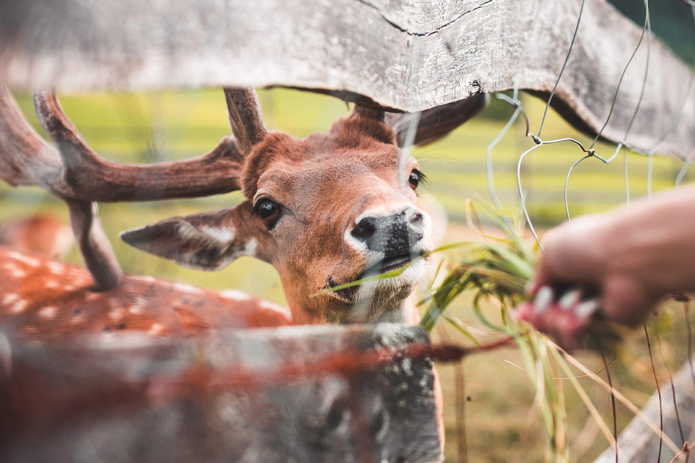 Feeding a Deer Free Stock Photo
