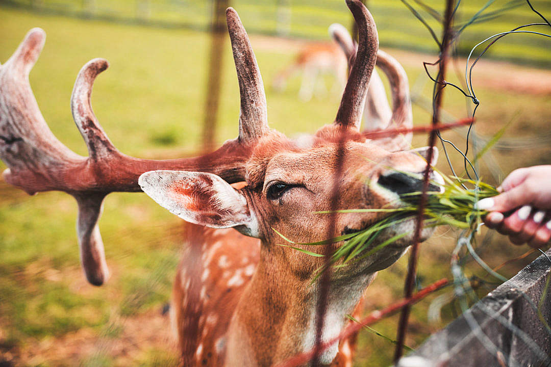 Download Feeding a Deer by Hand FREE Stock Photo