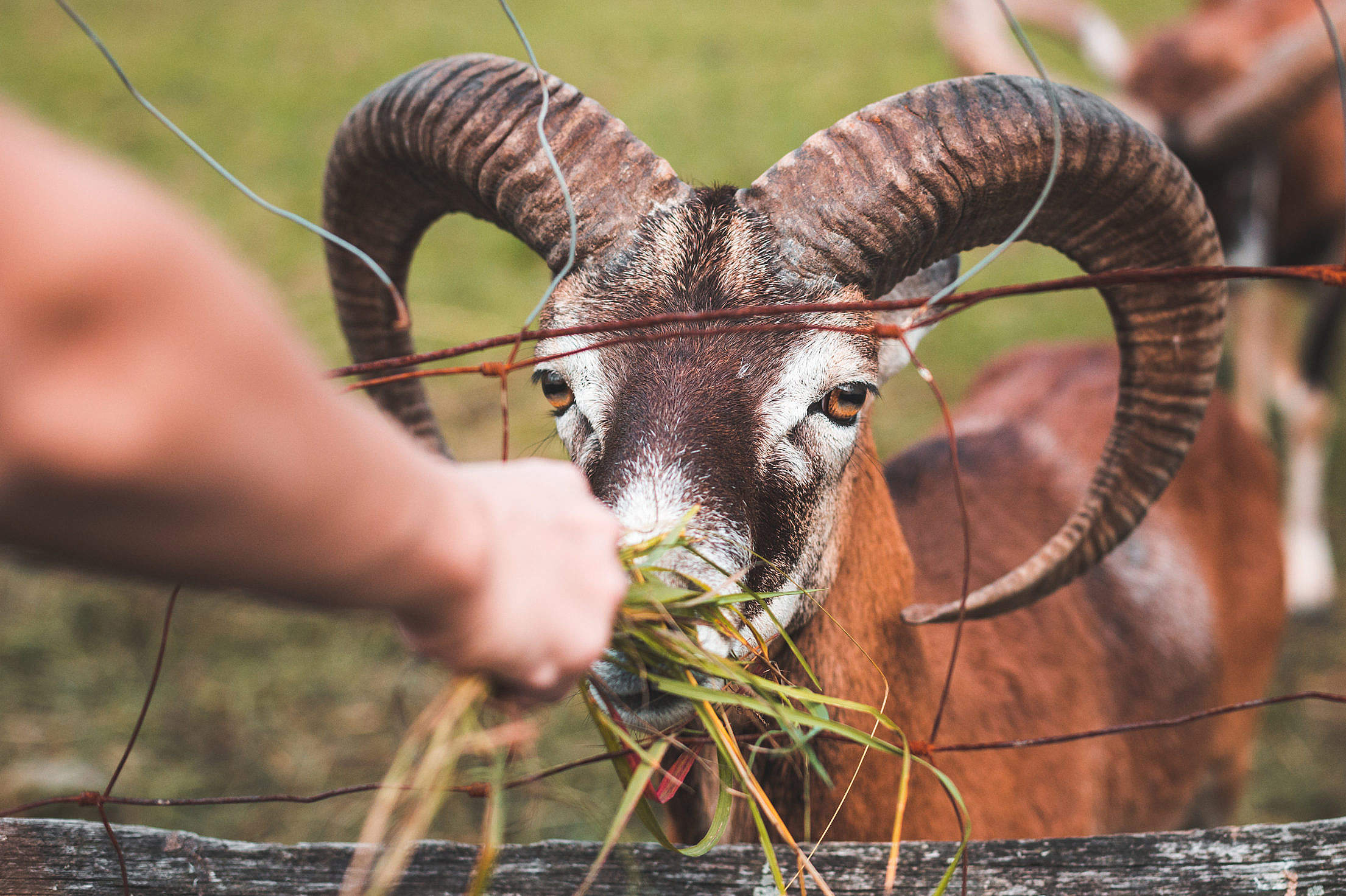 Feeding a Goat with Big Horns Free Stock Photo