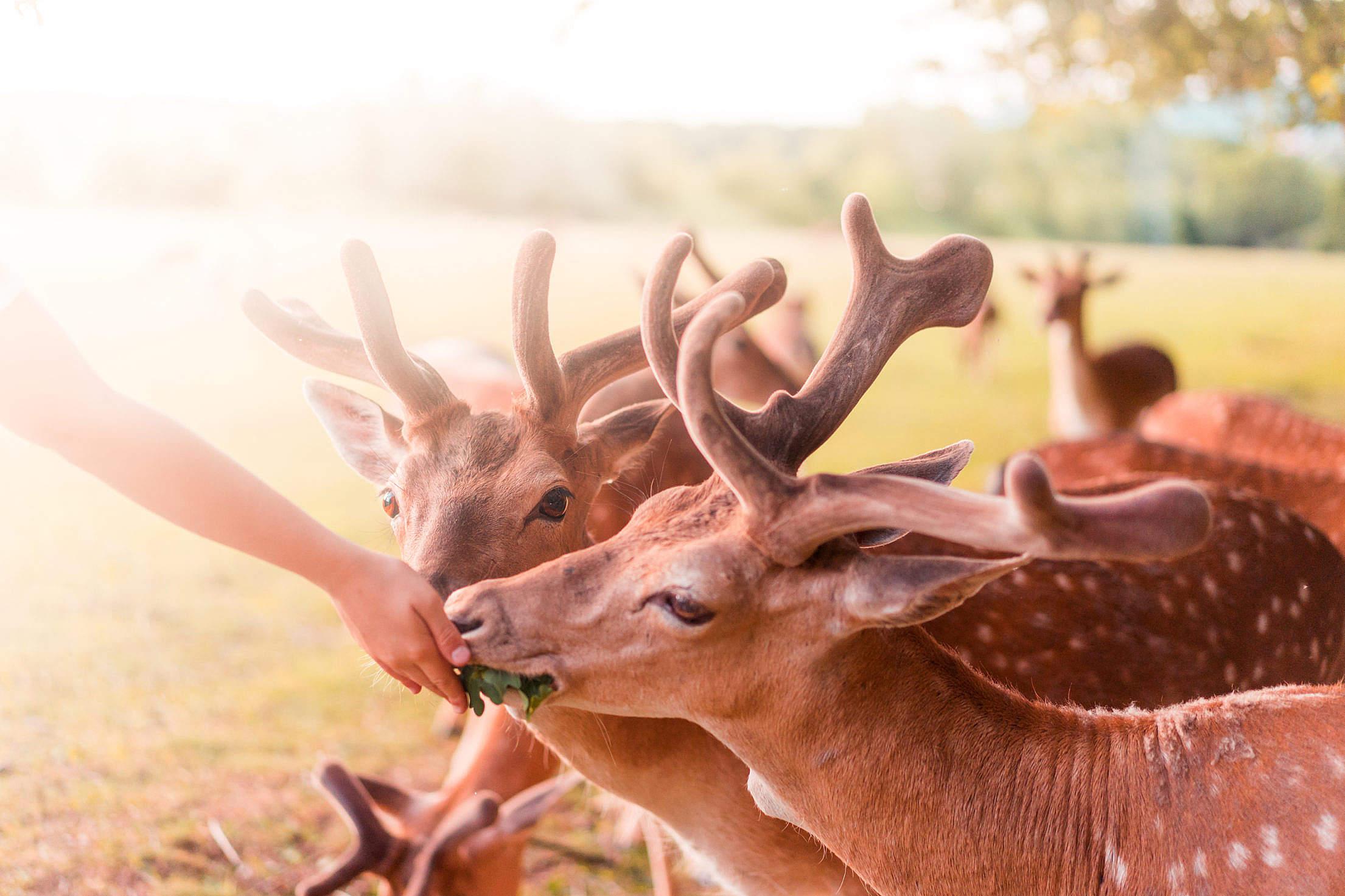 Feeding Beautiful Fallow Deers Free Stock Photo
