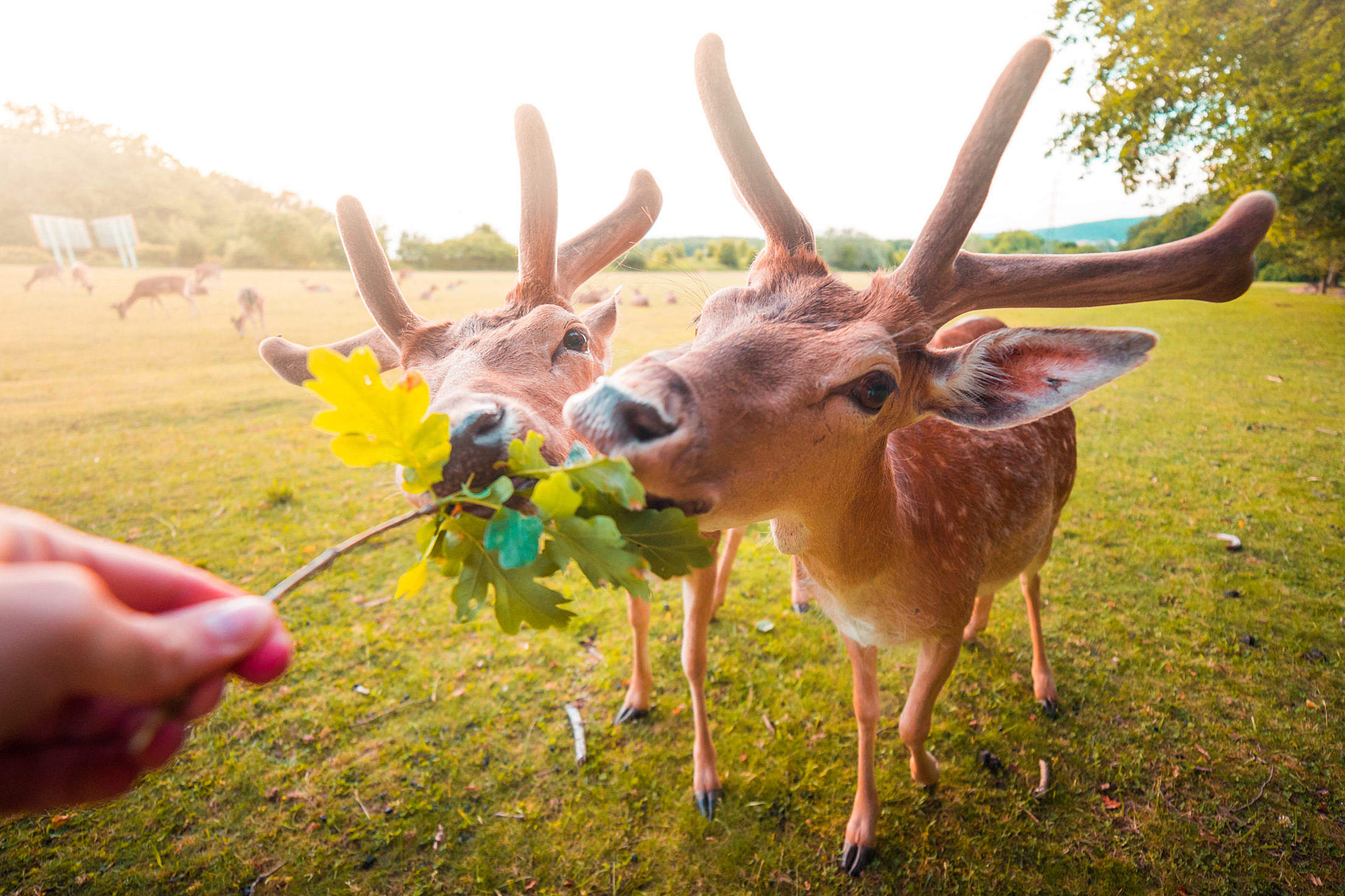 Feeding Fallow Deer by Hand Free Stock Photo
