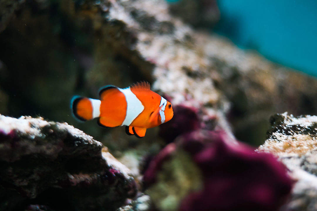 Download Finding Nemo Real Fish: Percula Clownfish FREE Stock Photo