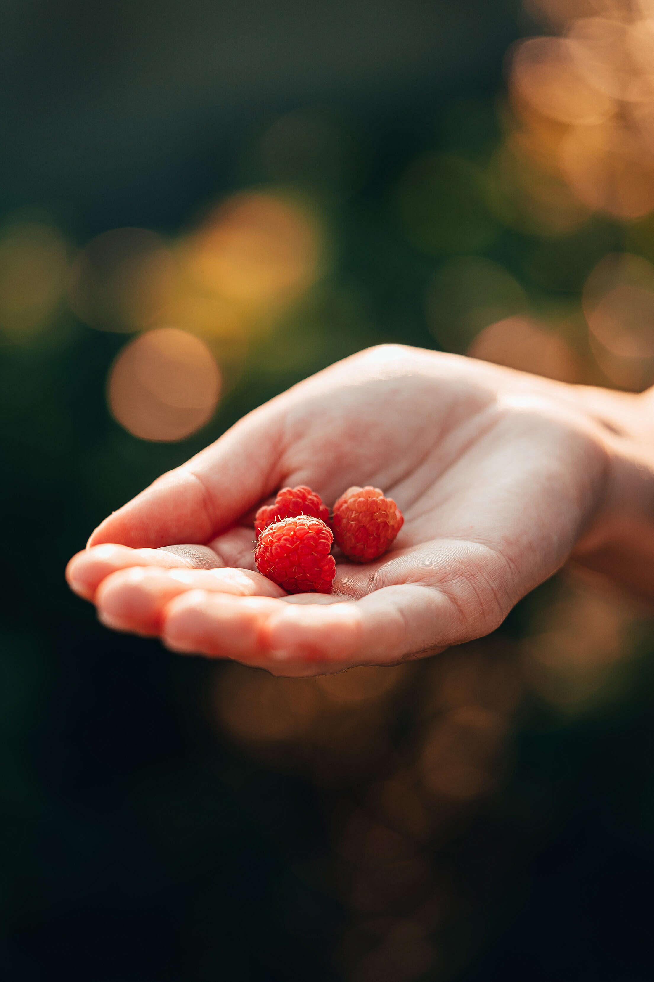 First Raspberries in Woman Hand Free Stock Photo