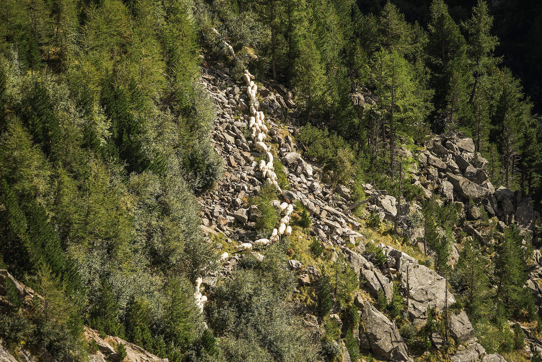 Flock of Sheep in Austrian Mountains Free Stock Photo