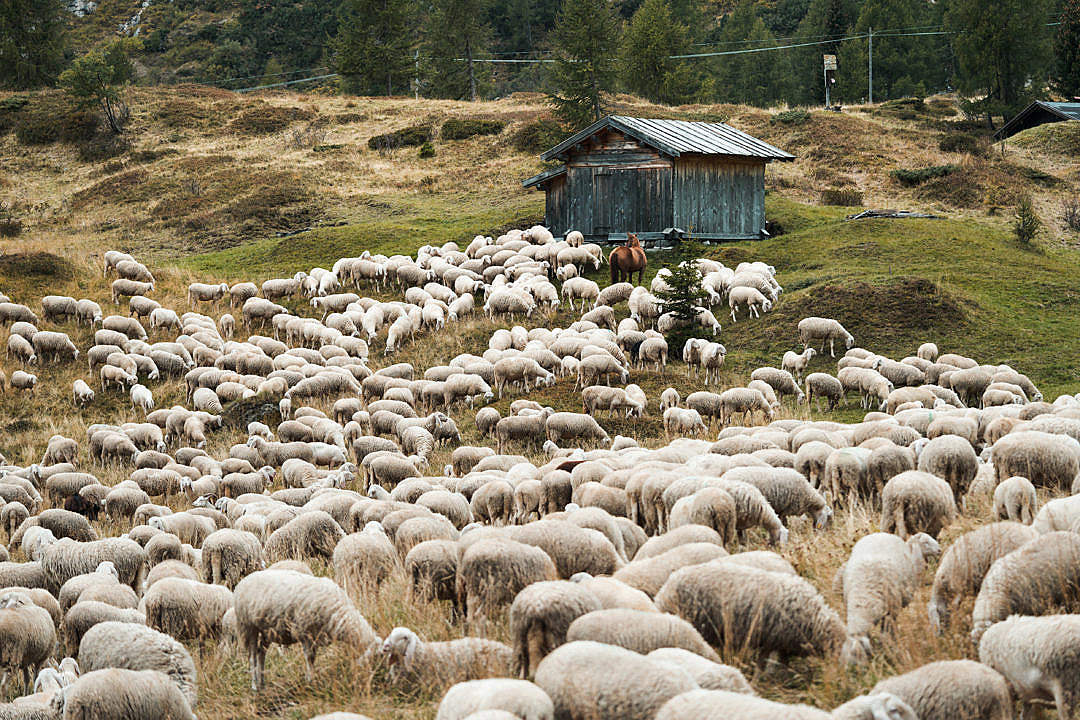 Download Flock of Sheep in the Mountain Pasture FREE Stock Photo