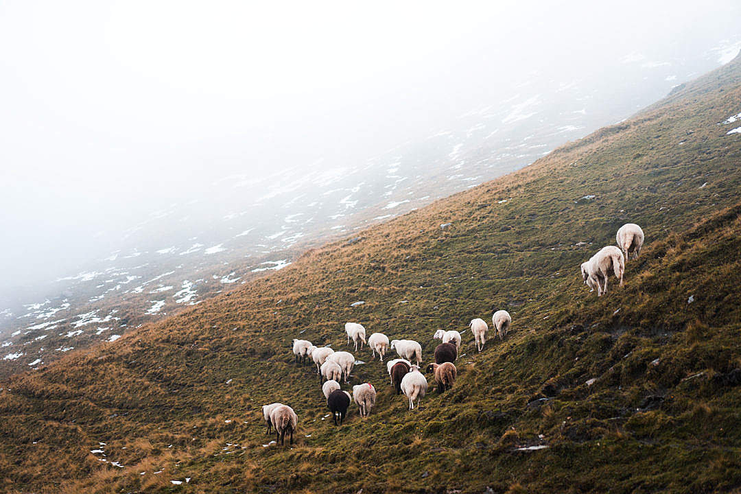 Download Flock of Sheep in the Mountains FREE Stock Photo