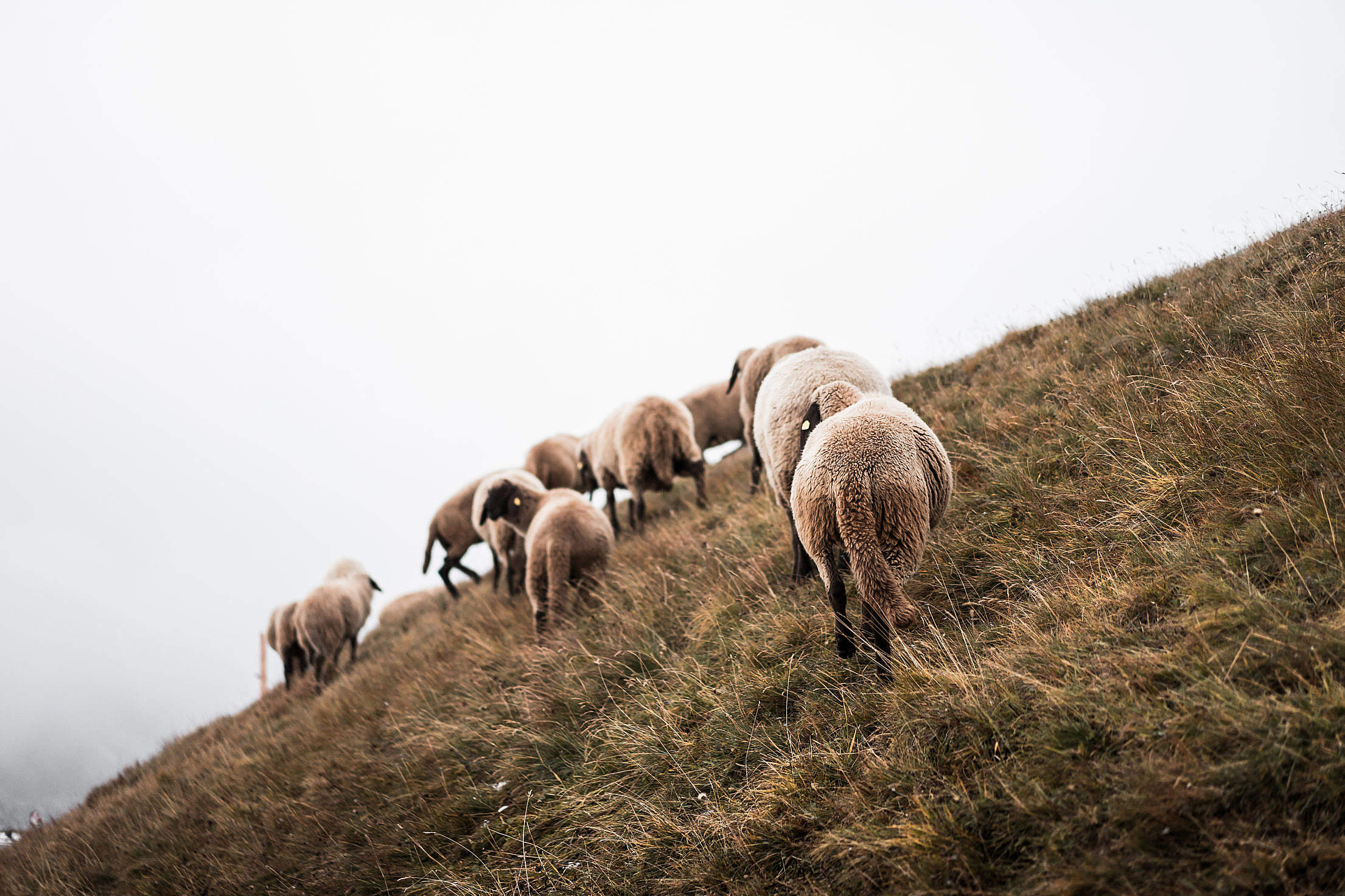 Flock of Sheep on a Steep Hill Free Stock Photo