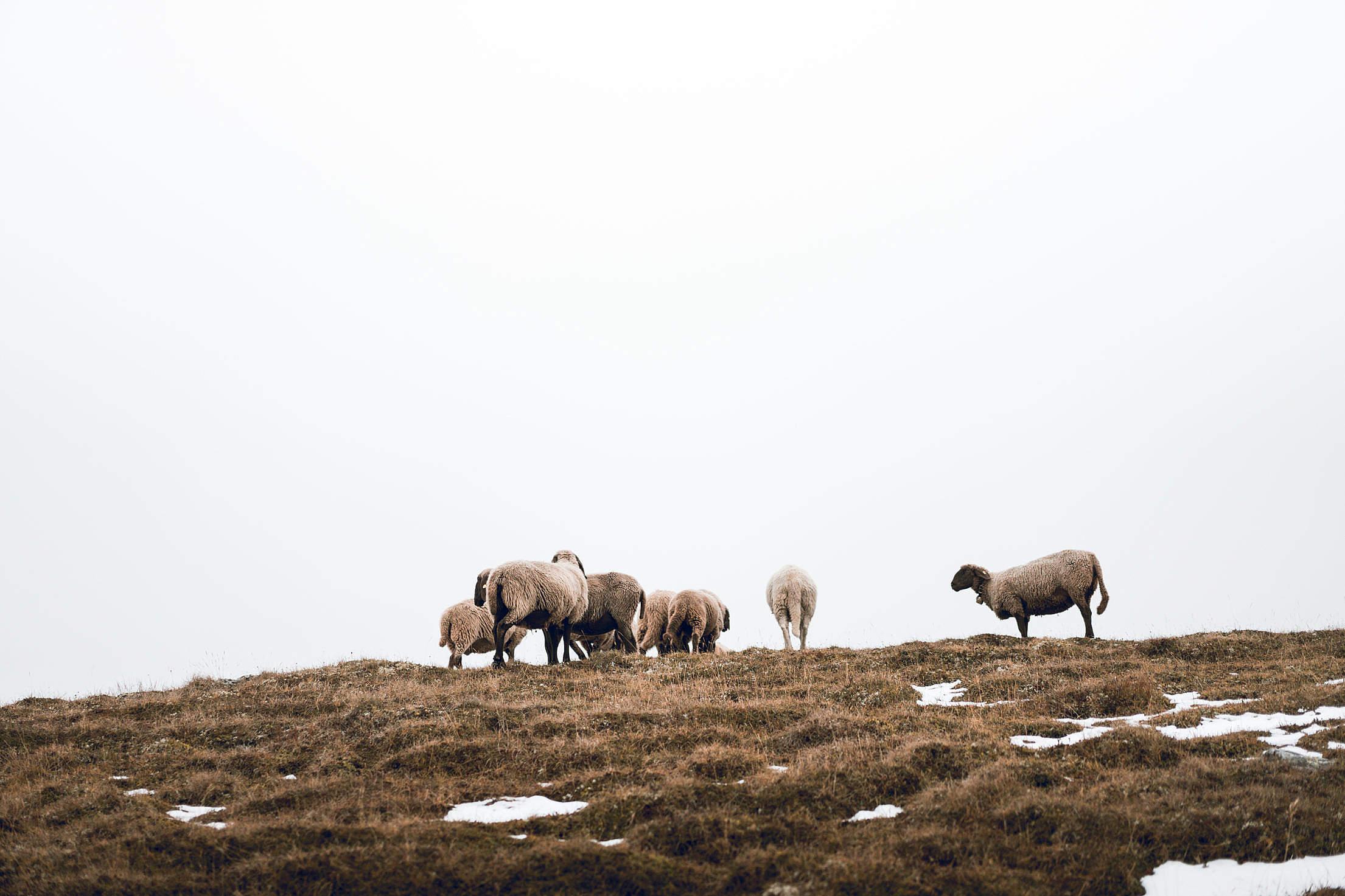 Flock of Sheep on Foggy Horizon Free Stock Photo