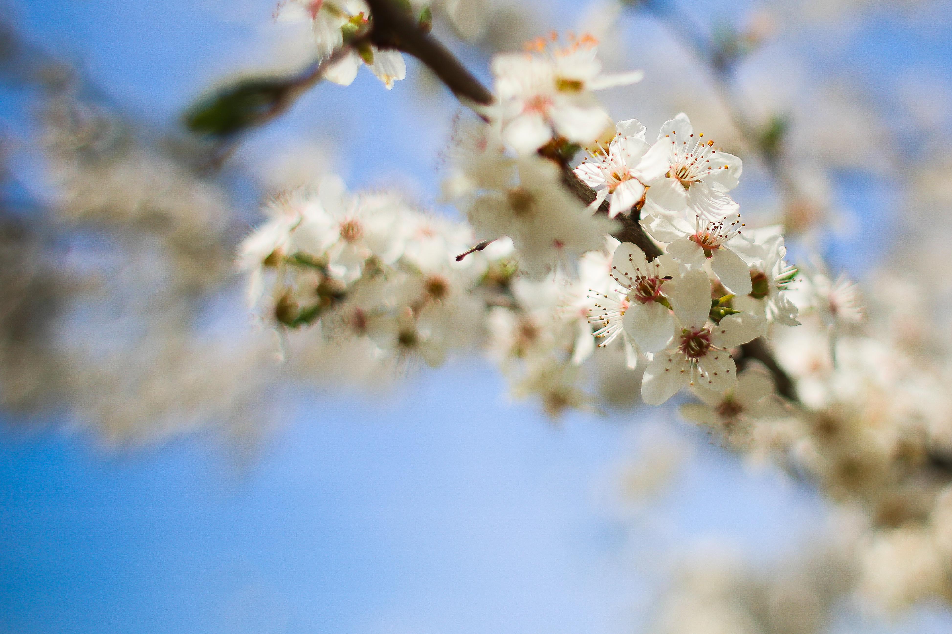 Download Flowering Apple-Tree FREE Stock Photo