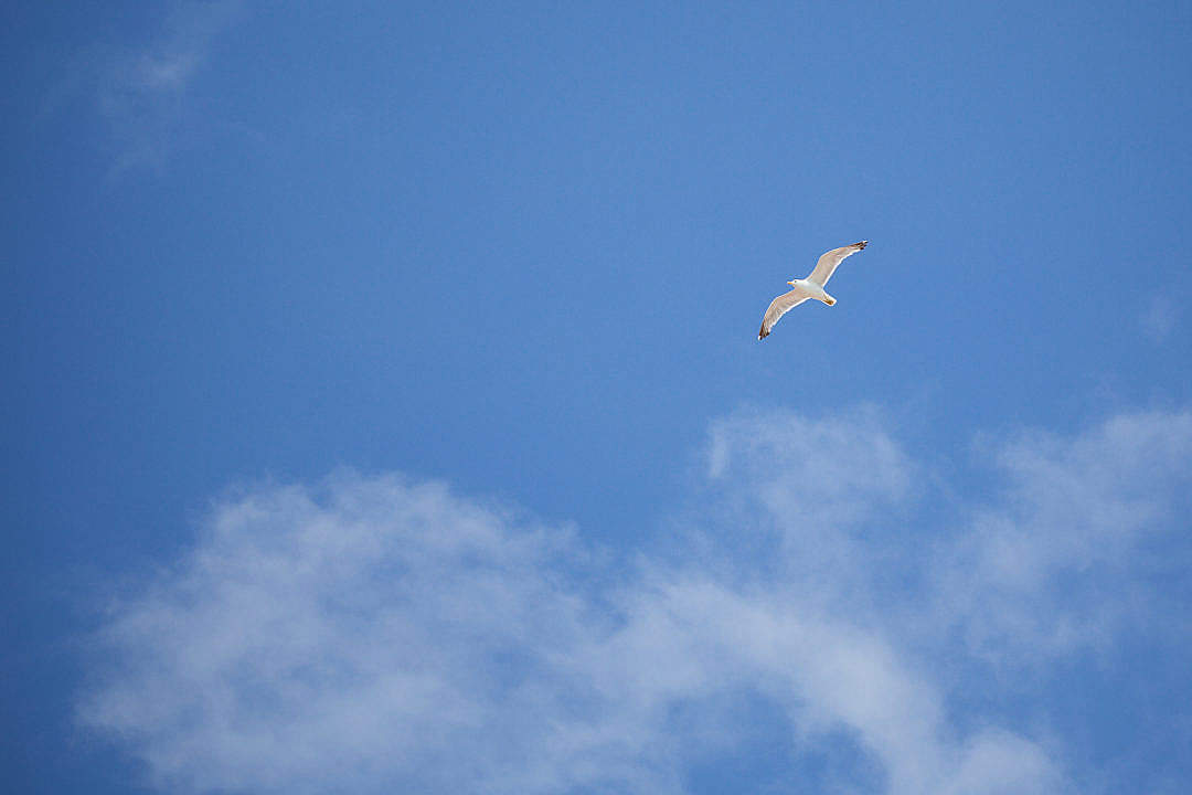 Download Flying Seagull — Free as a Bird FREE Stock Photo