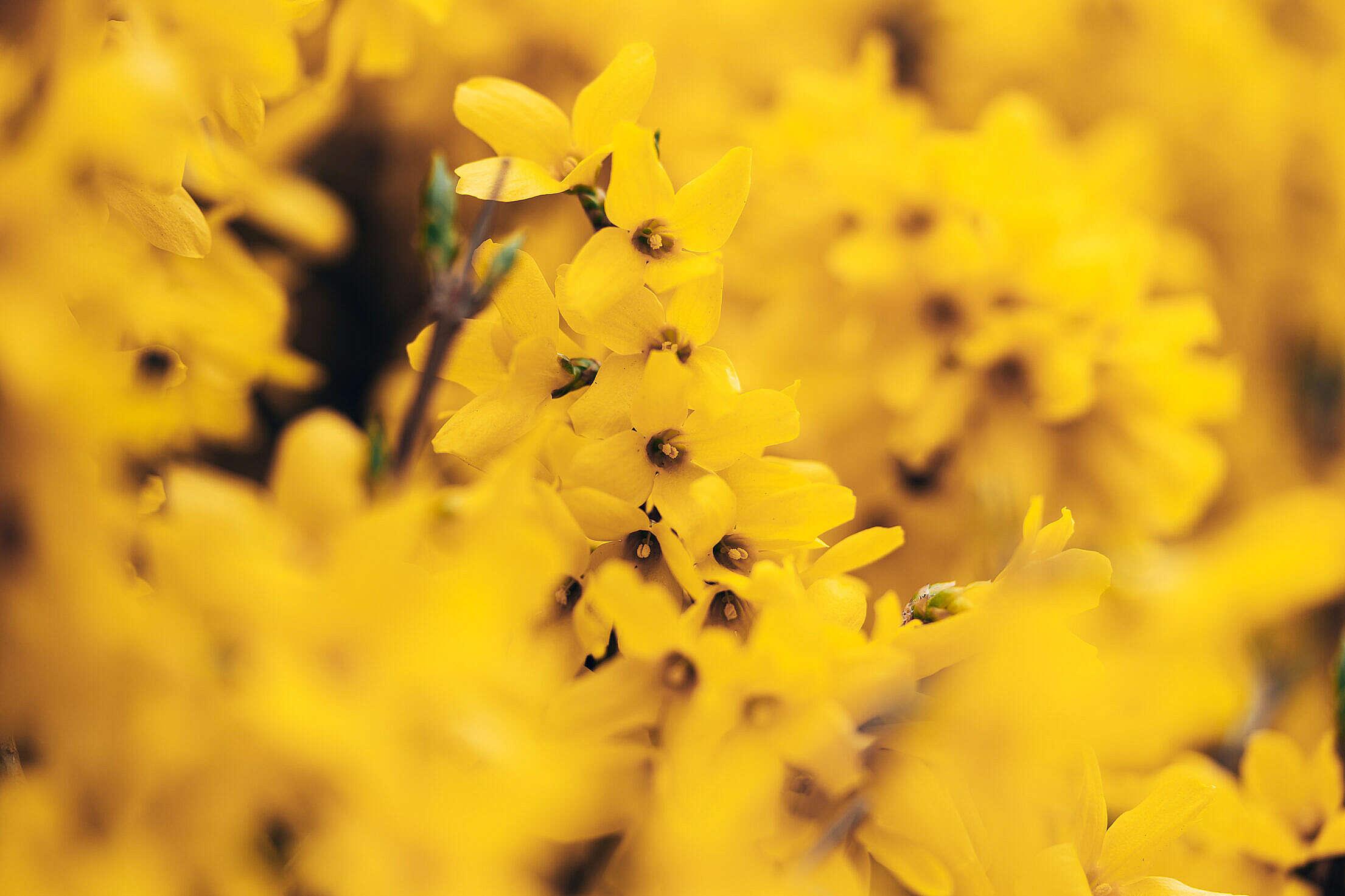 Forsythia Blossoms Close Up Free Stock Photo