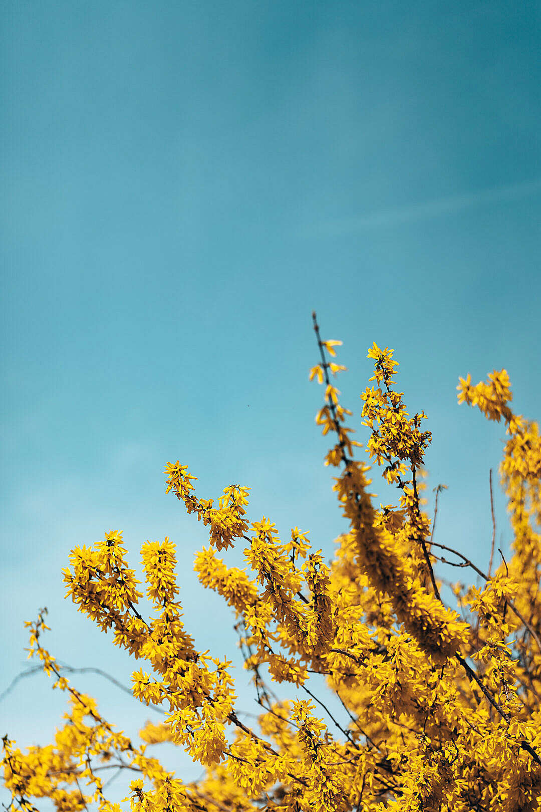 Download Forsythia Bush Against Blue Sky FREE Stock Photo