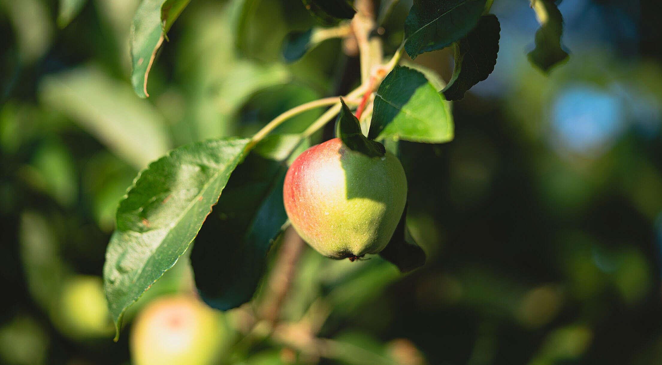 Fresh Apple Fruit on a Tree Free Stock Photo