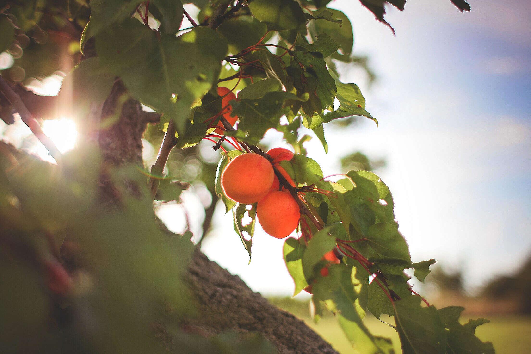 Fresh Apricots On The Tree Free Stock Photo