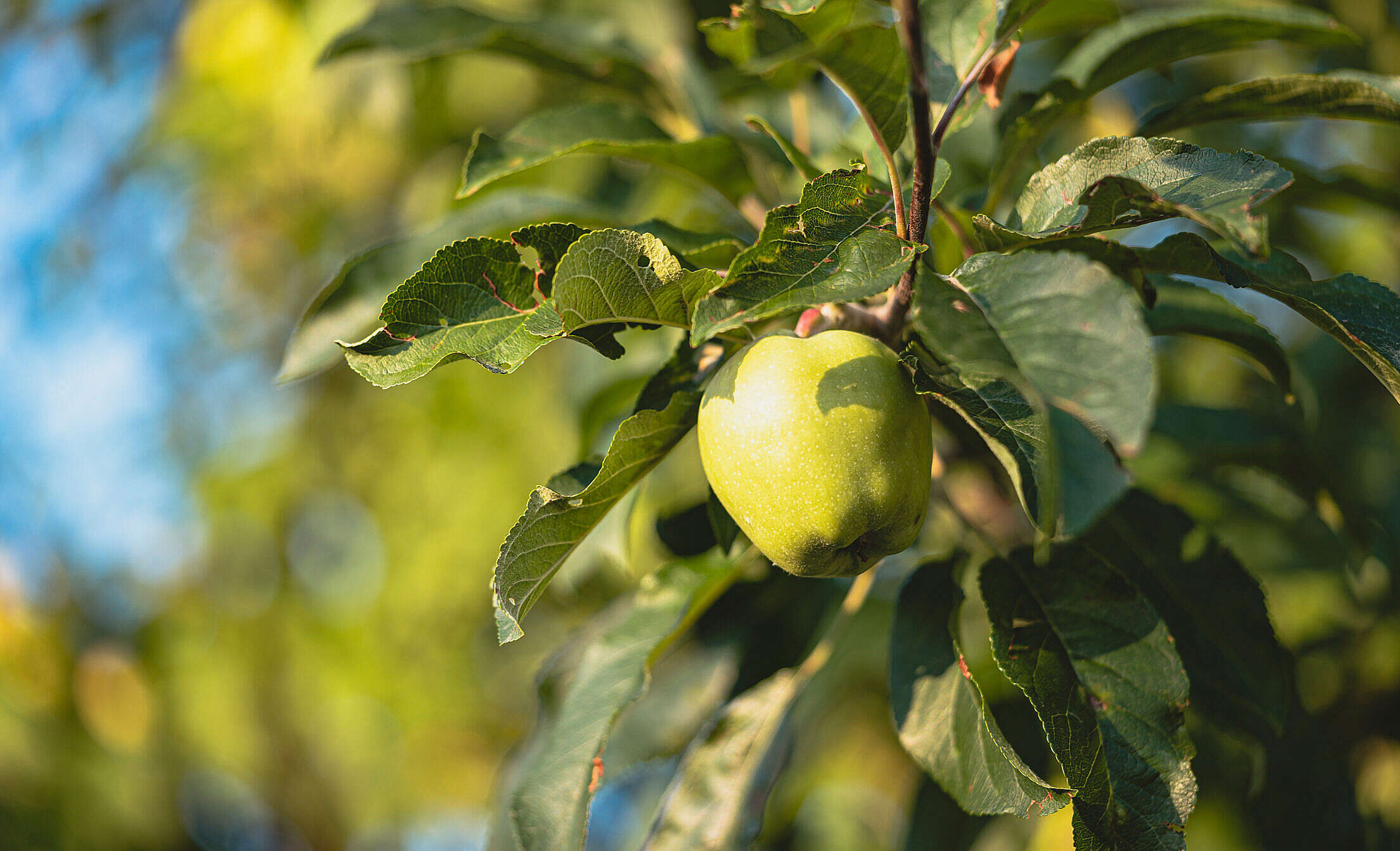 Fresh Green Apple on a Tree Free Stock Photo