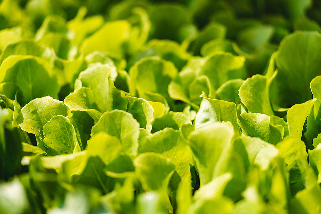 Download Fresh Lettuce Leaves FREE Stock Photo