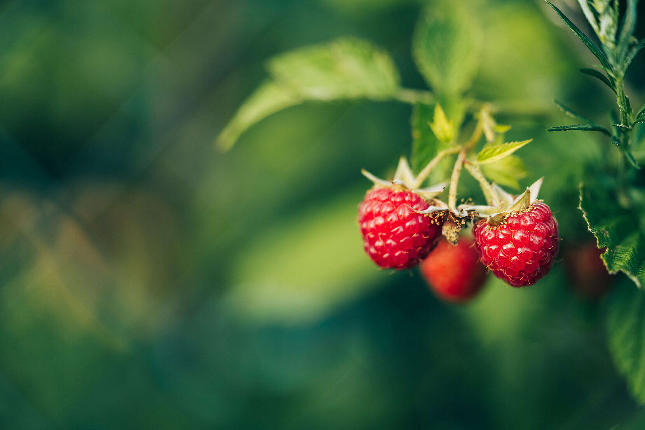 Fresh Raspberries with Space for Text Free Stock Photo