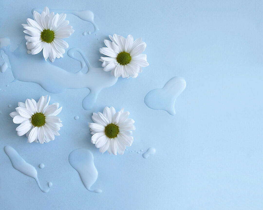 Download Fresh White Flowers on Blue Background FREE Stock Photo