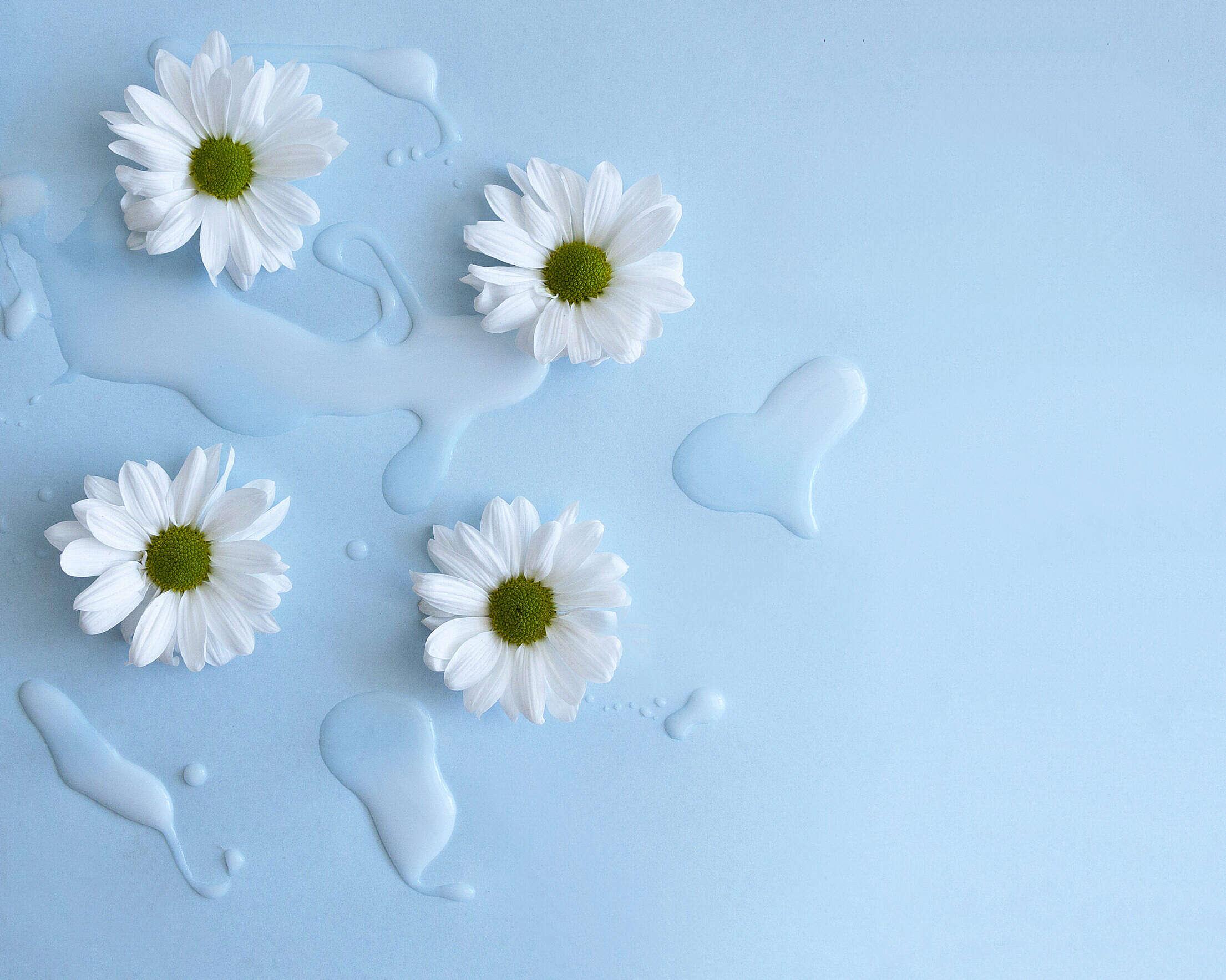 Fresh White Flowers on Blue Background Free Stock Photo