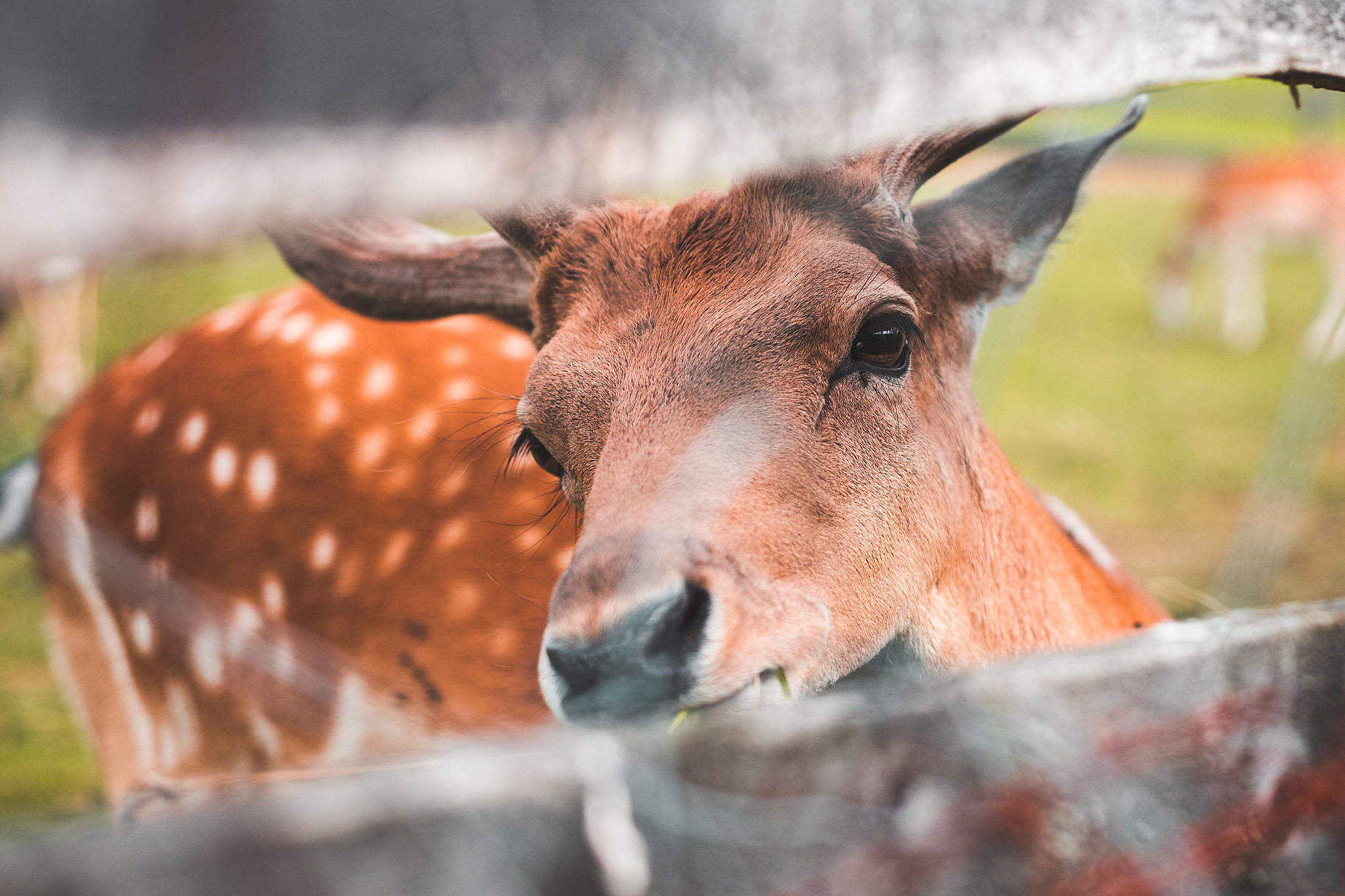 Friendly Deer Looking Through a Fence Free Stock Photo