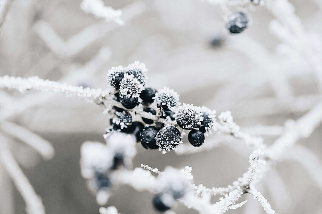 Download Frosted Blueberries FREE Stock Photo