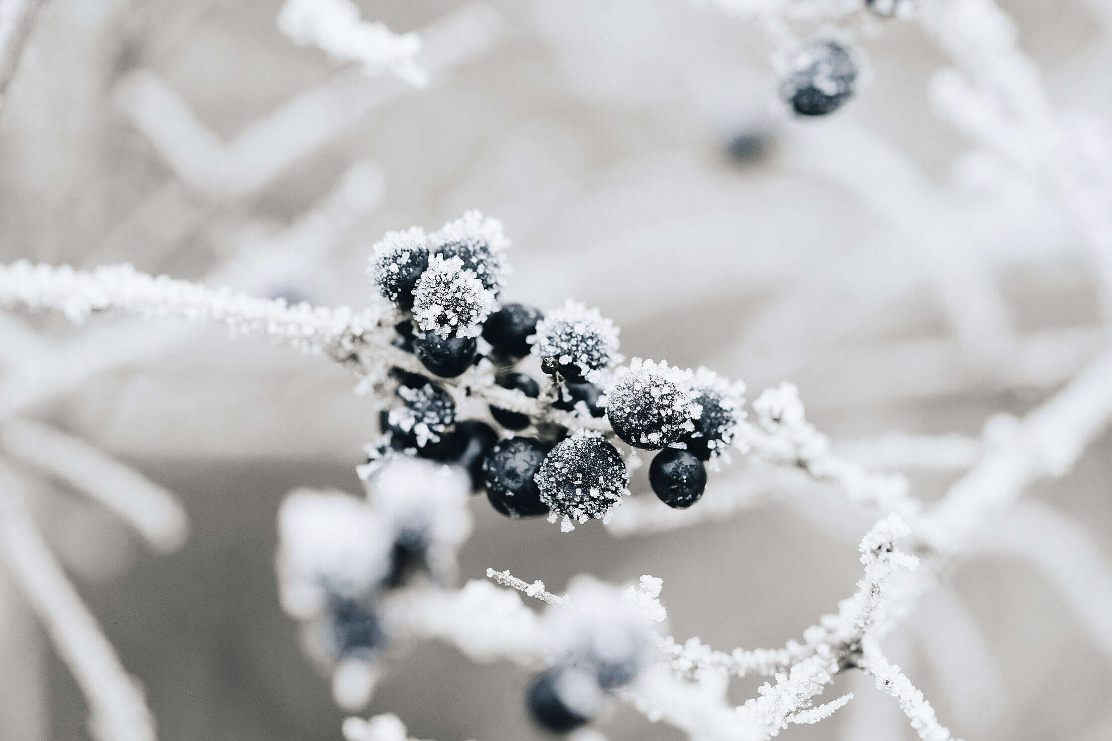 Frosted Blueberries Free Stock Photo