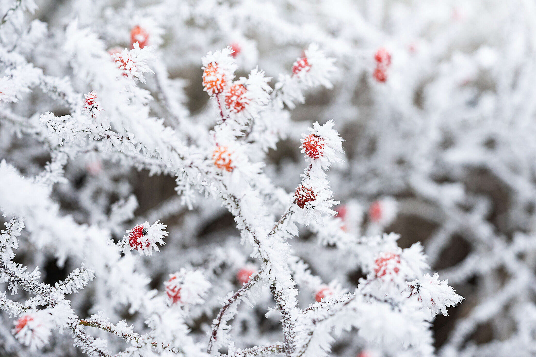 Frosted Rosehip Berries Free Stock Photo