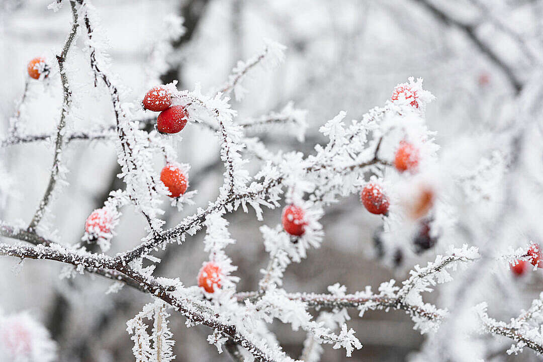 Download Frosted Rosehip FREE Stock Photo