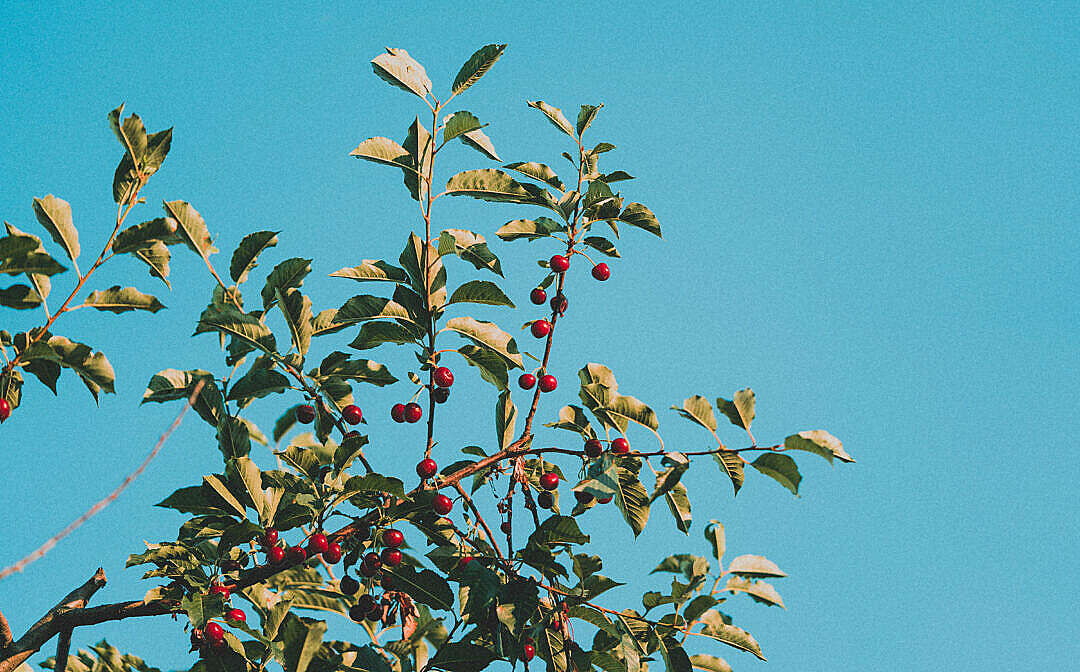 Download Fruit Tree with Cherries FREE Stock Photo