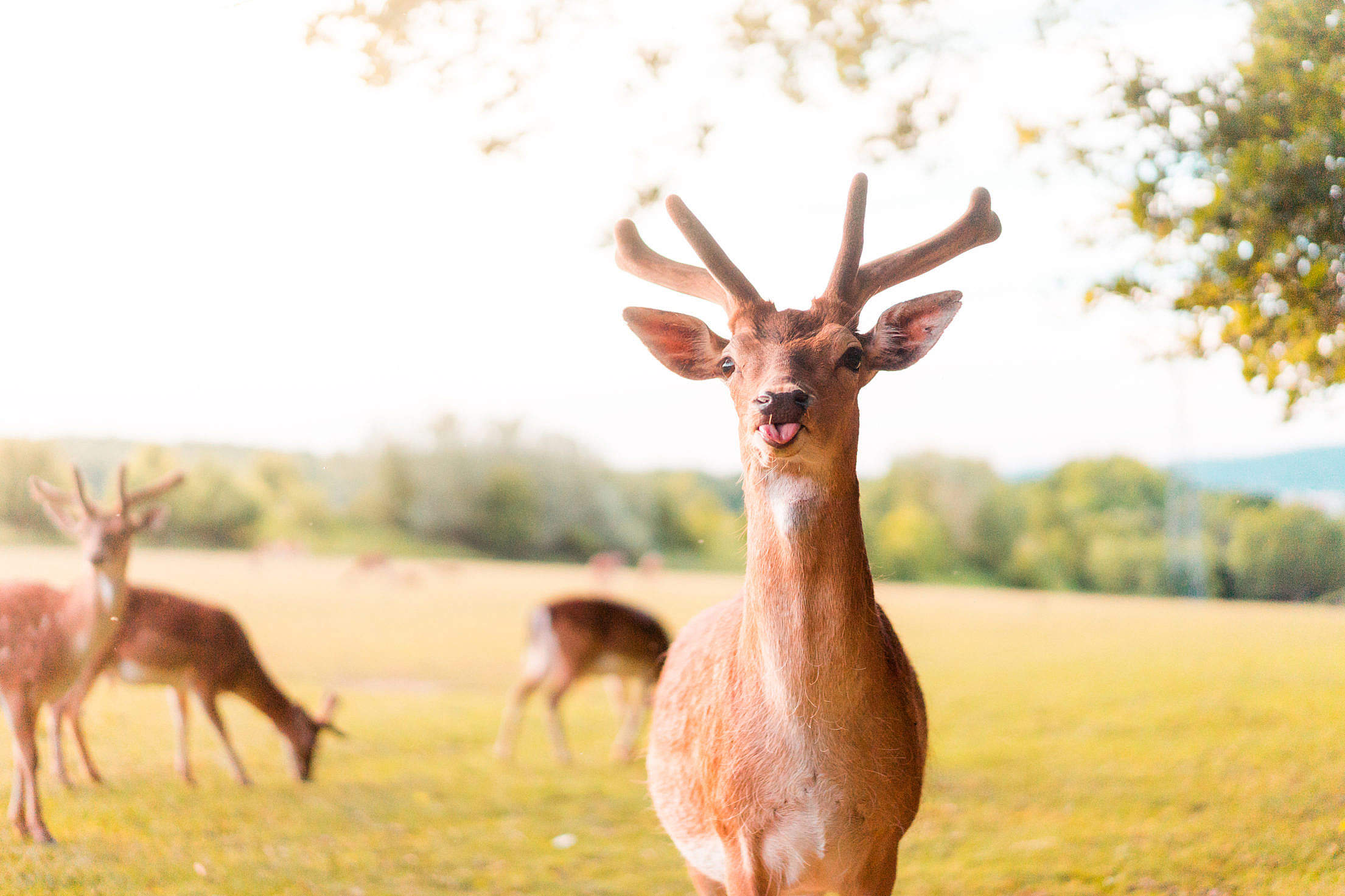 Funny Portrait of Fallow Deer Sticking Out The Tongue Free Stock Photo