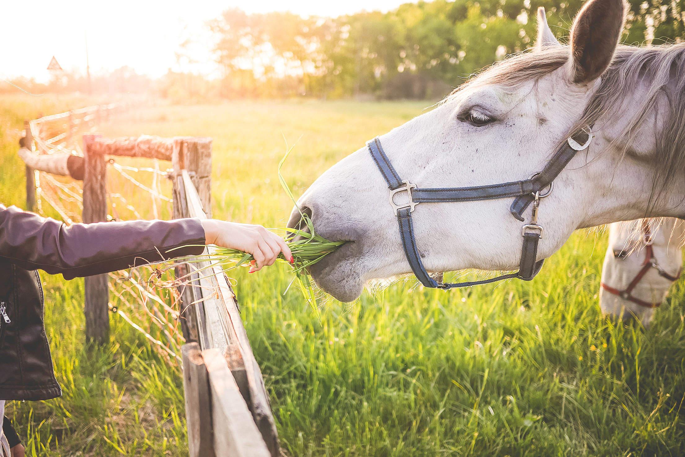 Girl Feeding a Gorgeous White Horse with Grass Free Stock Photo