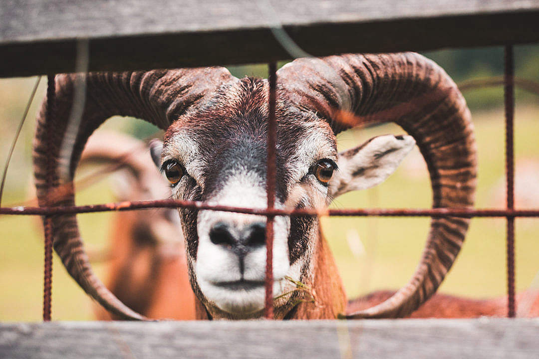 Download Goat Behind the Fence FREE Stock Photo