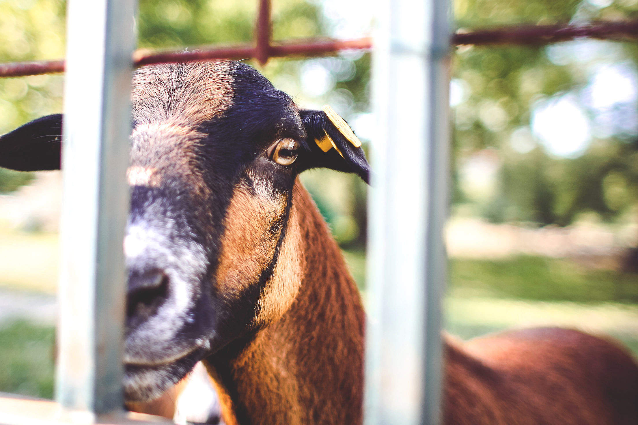 Goat Looking Over The Fence Free Stock Photo