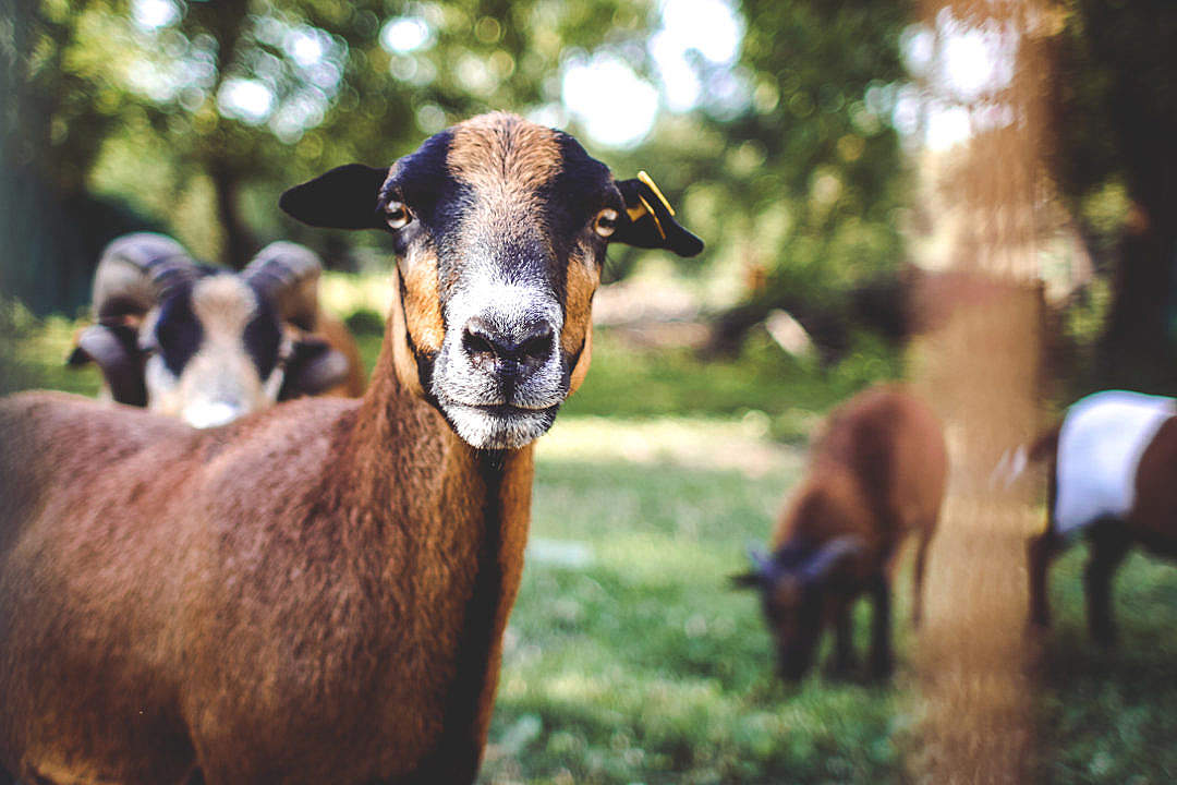 Download Goat Portrait? FREE Stock Photo