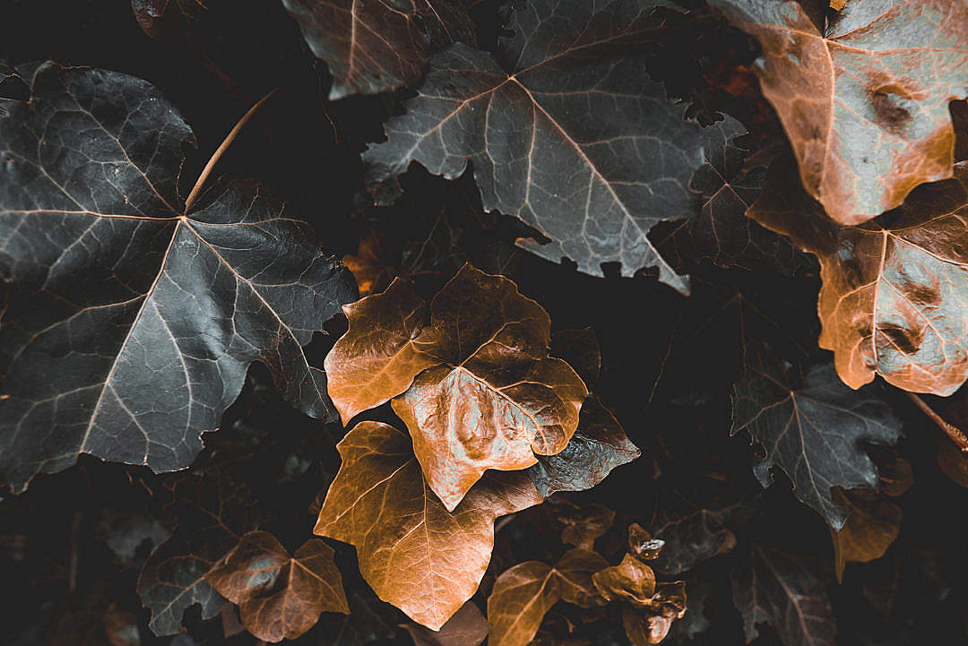 Download Golden Leaves FREE Stock Photo