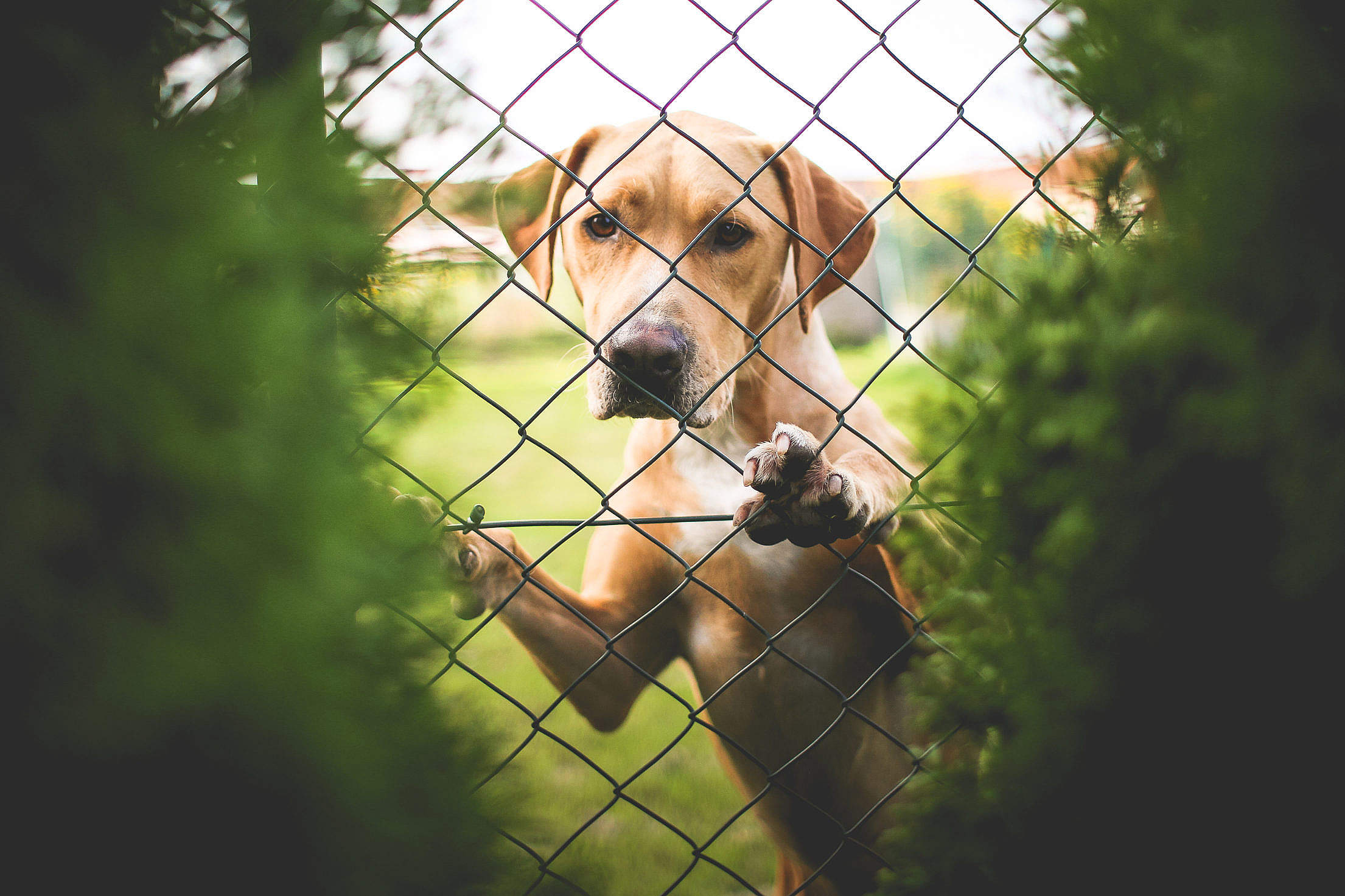 Golden Retriever Behind The Fence Free Stock Photo
