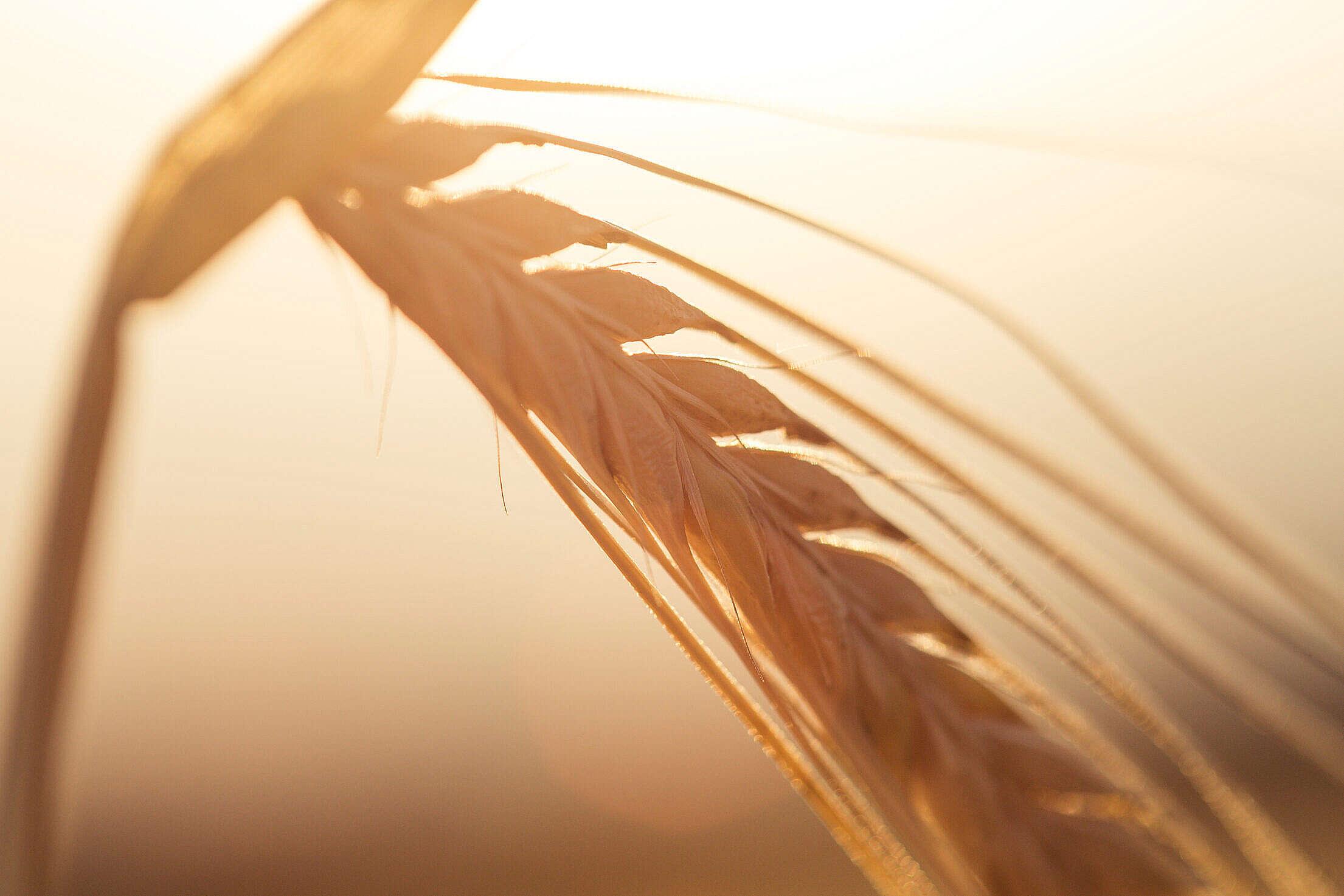 Golden Wheat Ears Free Stock Photo