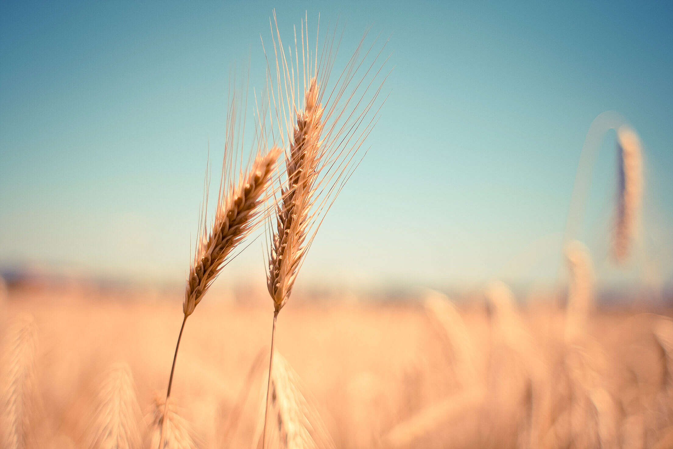 Grain Field Detail Free Stock Photo