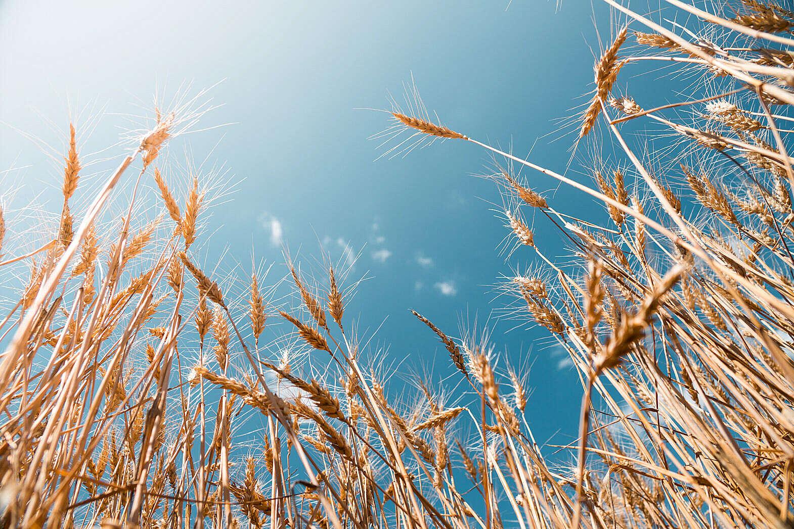 Grain Field Free Stock Photo Download