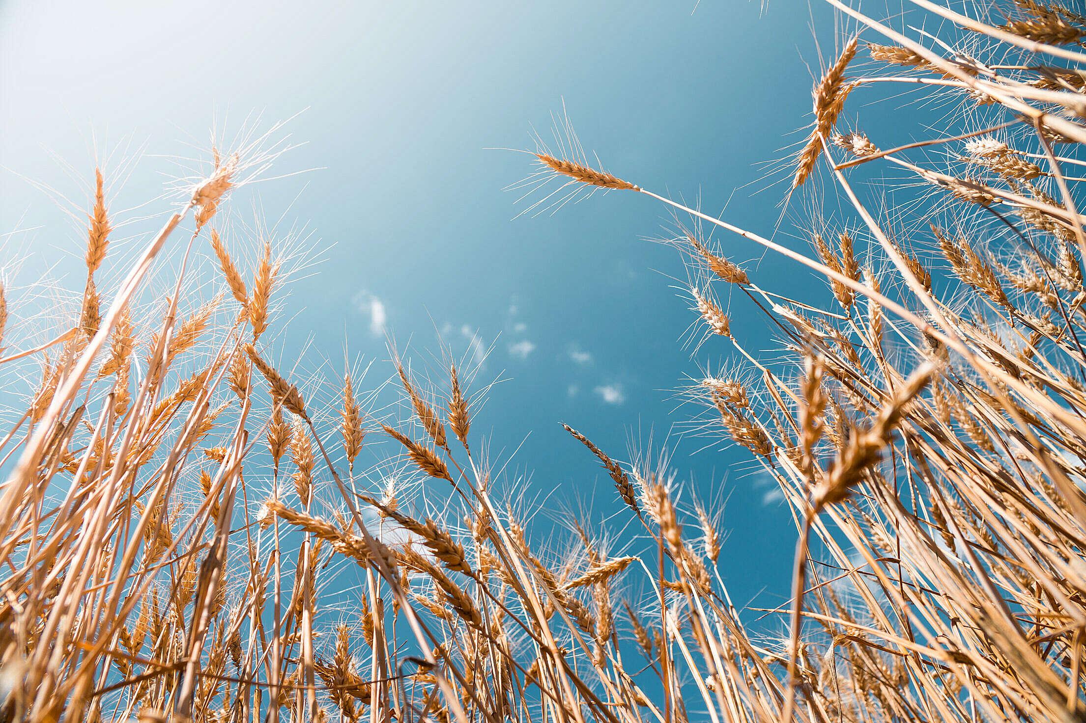 Download Grain Field Free Stock Photo