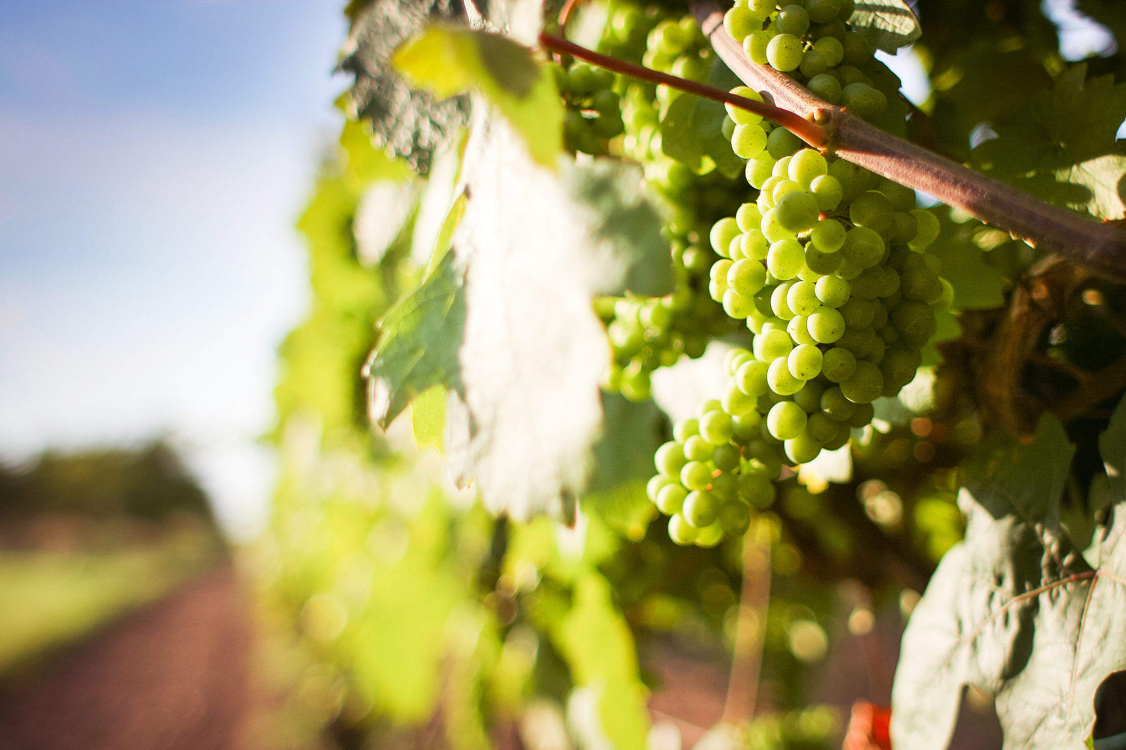 Grapevine with Detail of Grapes Free Stock Photo