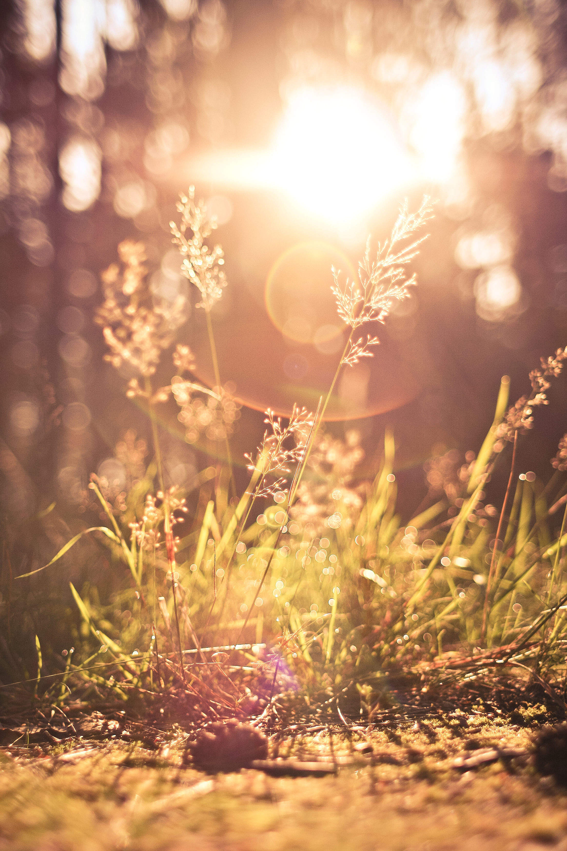 Grass Against Morning Sun Vertical Free Stock Photo