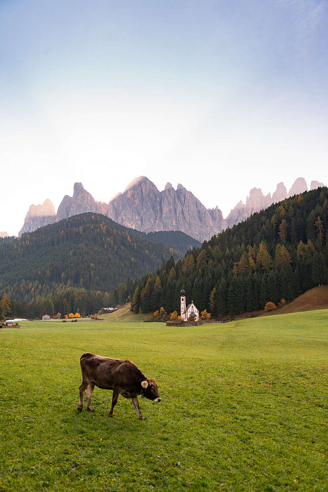 Download Grazing Cow near Church of St. John in Ranui, Italy FREE Stock Photo