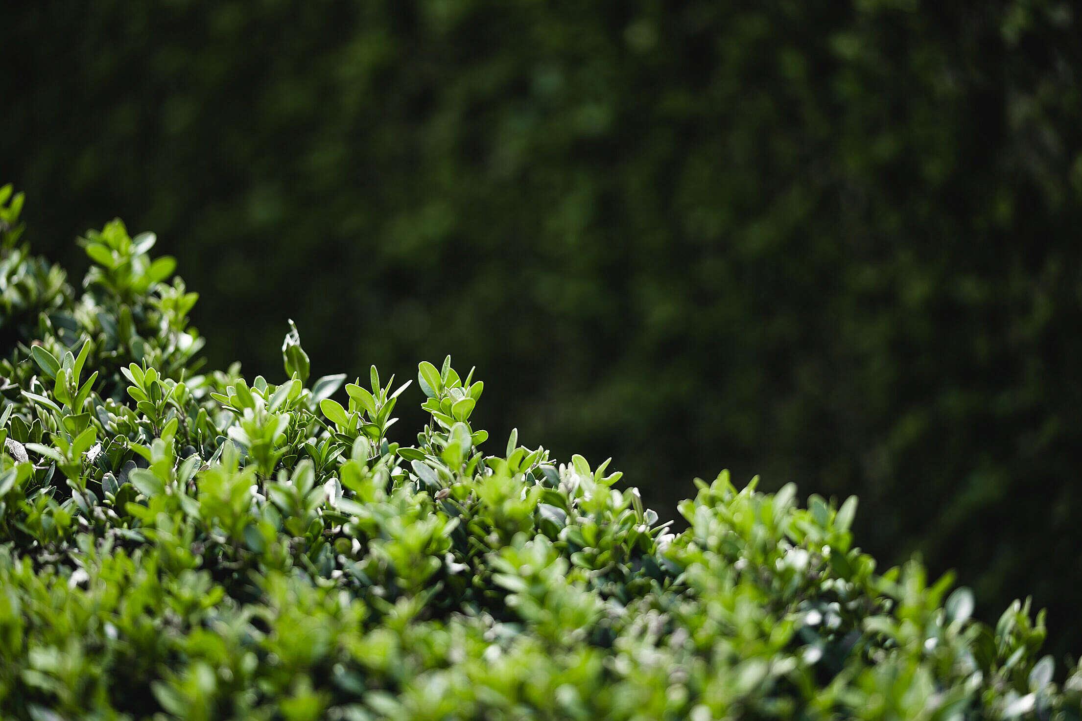 Green Bush Buxus Free Stock Photo