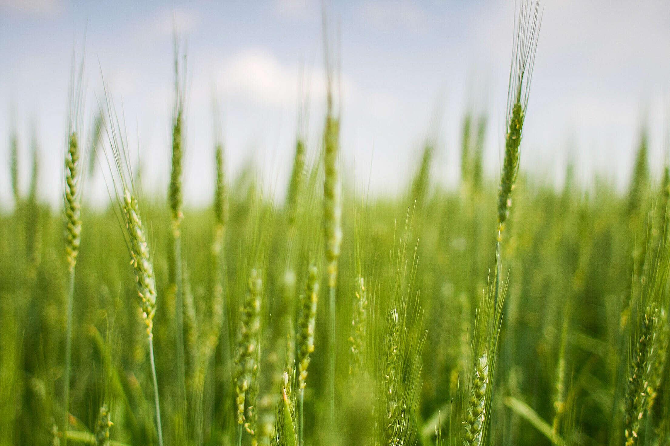 Green Grain Field Free Stock Photo