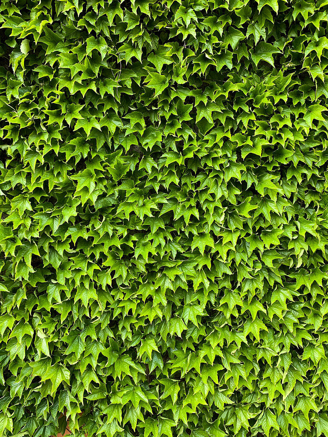 Download Green Ivy Texture Vertical FREE Stock Photo