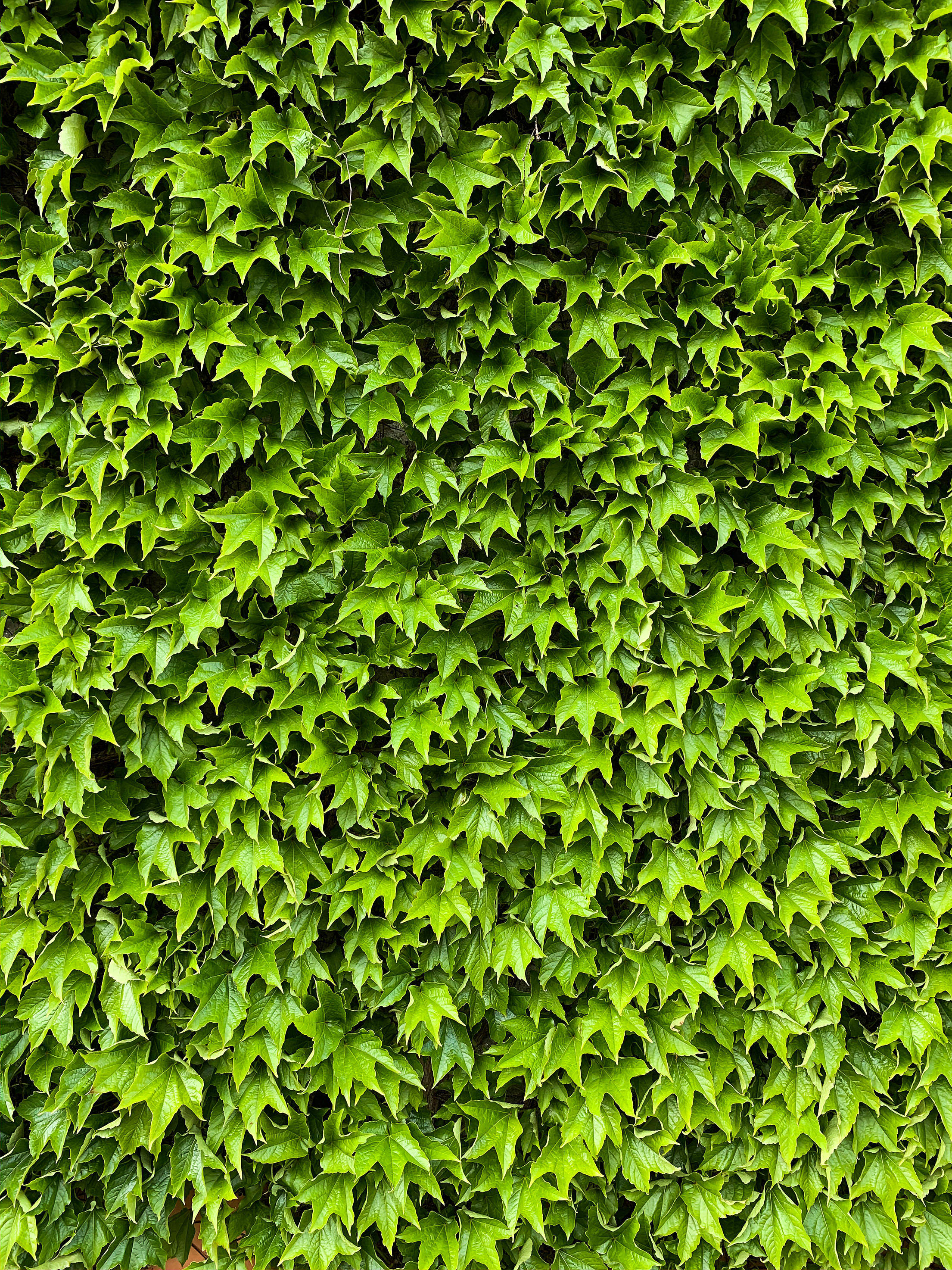 Green Ivy Texture Vertical Free Stock Photo