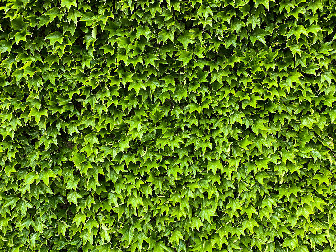 Download Green Ivy Wall Texture FREE Stock Photo