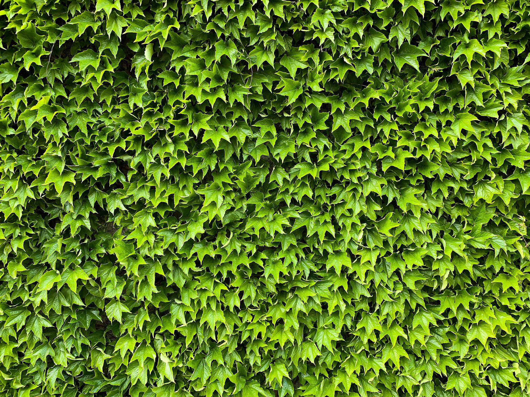 Green Ivy Wall Texture Free Stock Photo