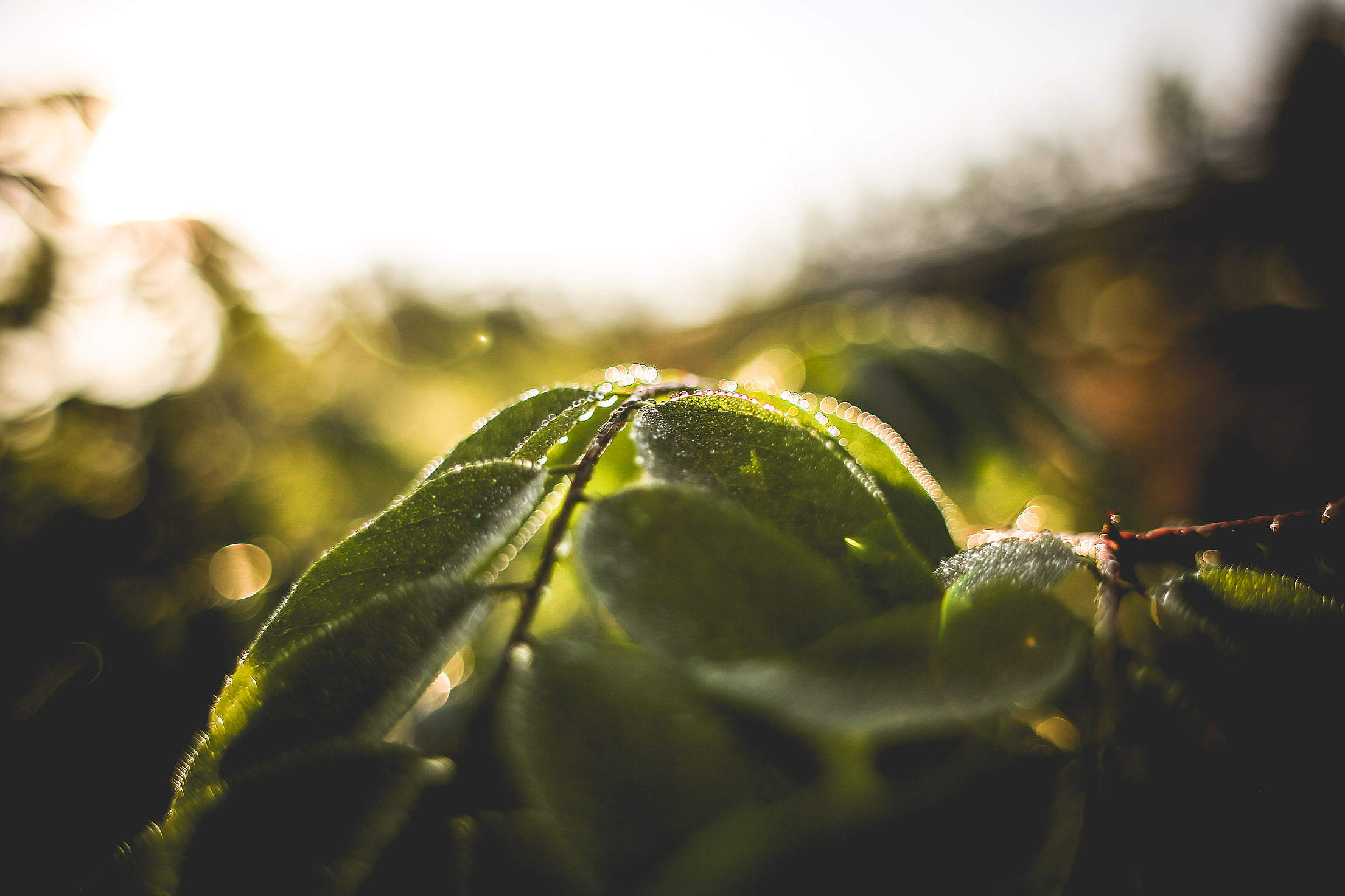 Green Leaves With Morning Dew Free Stock Photo